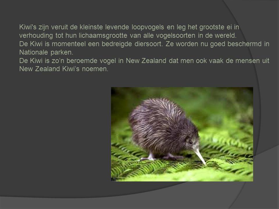 Kiwi s zijn veruit de kleinste levende loopvogels en leg het grootste ei in verhouding tot hun lichaamsgrootte van alle vogelsoorten in de wereld.