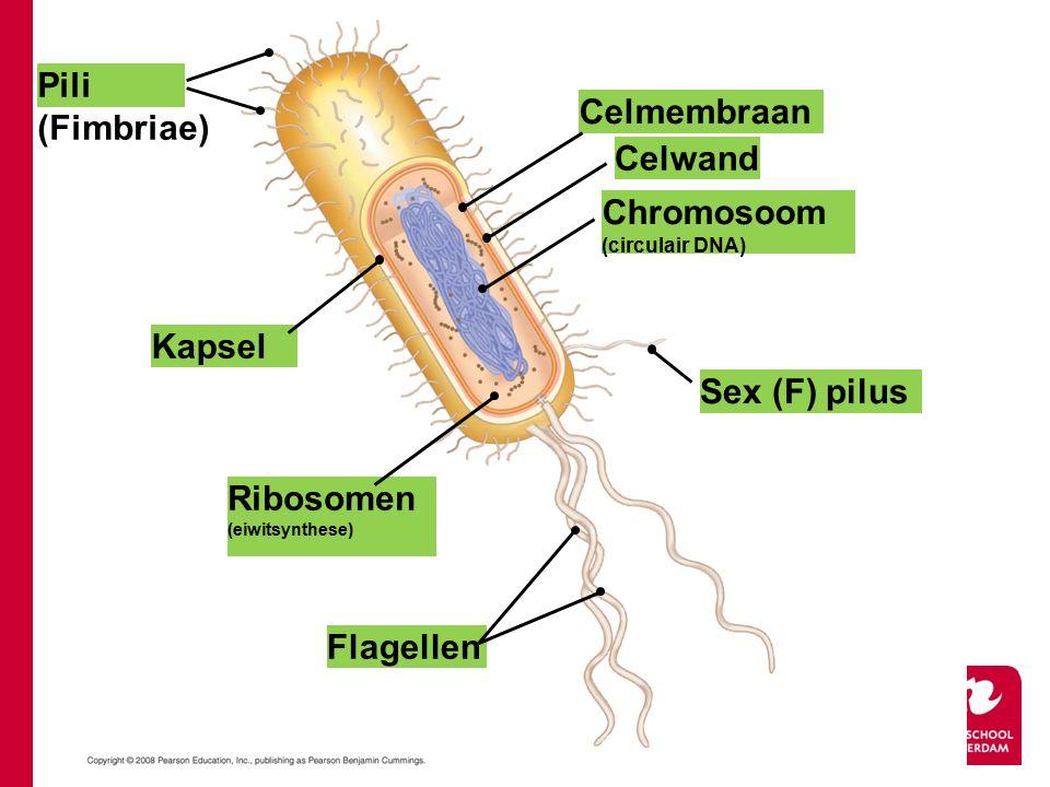 Pili (Fimbriae) Kapsel Celmembraan Chromosoom (circulair DNA) Ribosomen (eiwitsynthese) Flagellen Sex (F) pilus Celwand