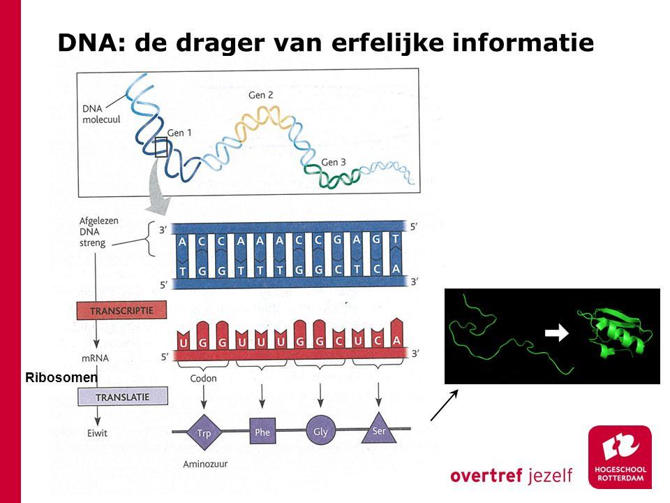 DNA: de drager van erfelijke informatie Ribosomen
