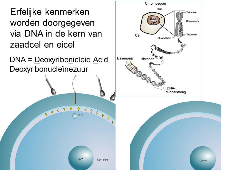 Erfelijke kenmerken worden doorgegeven via DNA in de kern van zaadcel en eicel DNA = Deoxyribonicleic Acid Deoxyribonucleïnezuur