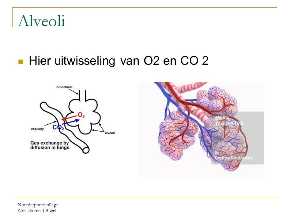 Alveoli Hier uitwisseling van O2 en CO 2 Noorderpoortcollege Winschoten J.Bugel