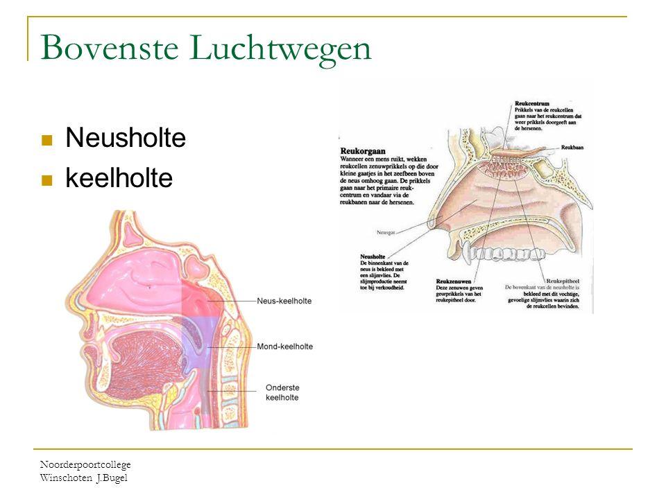 Noorderpoortcollege Winschoten J.Bugel Bovenste Luchtwegen Neusholte keelholte