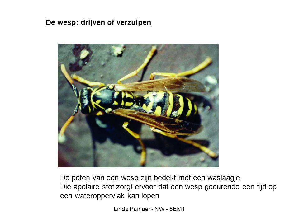 Linda Panjaer - NW - 5EMT De wesp: drijven of verzuipen De poten van een wesp zijn bedekt met een waslaagje. Die apolaire stof zorgt ervoor dat een we