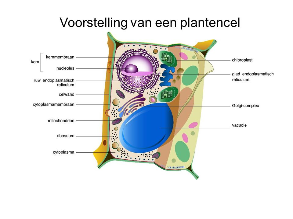 Voorstelling van een plantencel