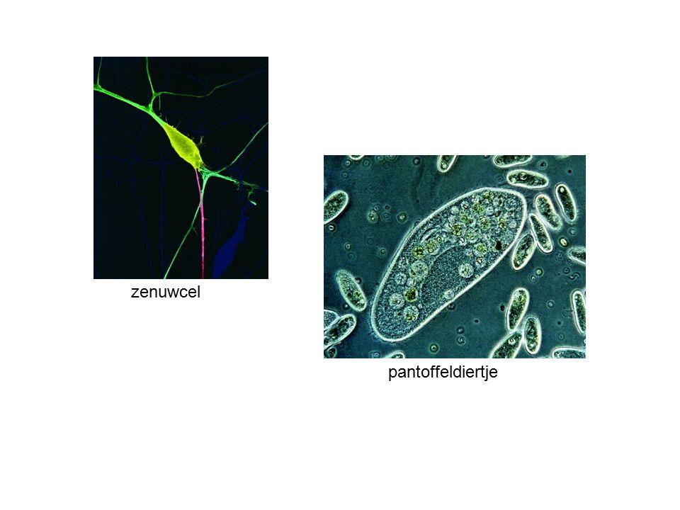 zenuwcel pantoffeldiertje