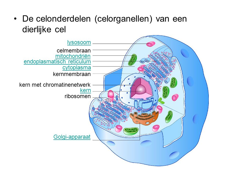 De celonderdelen (celorganellen) van een dierlijke cel celmembraan kern kern met chromatinenetwerk lysosoom mitochondriën endoplasmatisch reticulum cytoplasma kernmembraan ribosomen Golgi-apparaat