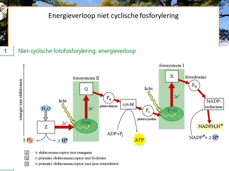 Energieverloop niet cyclische fosforylering
