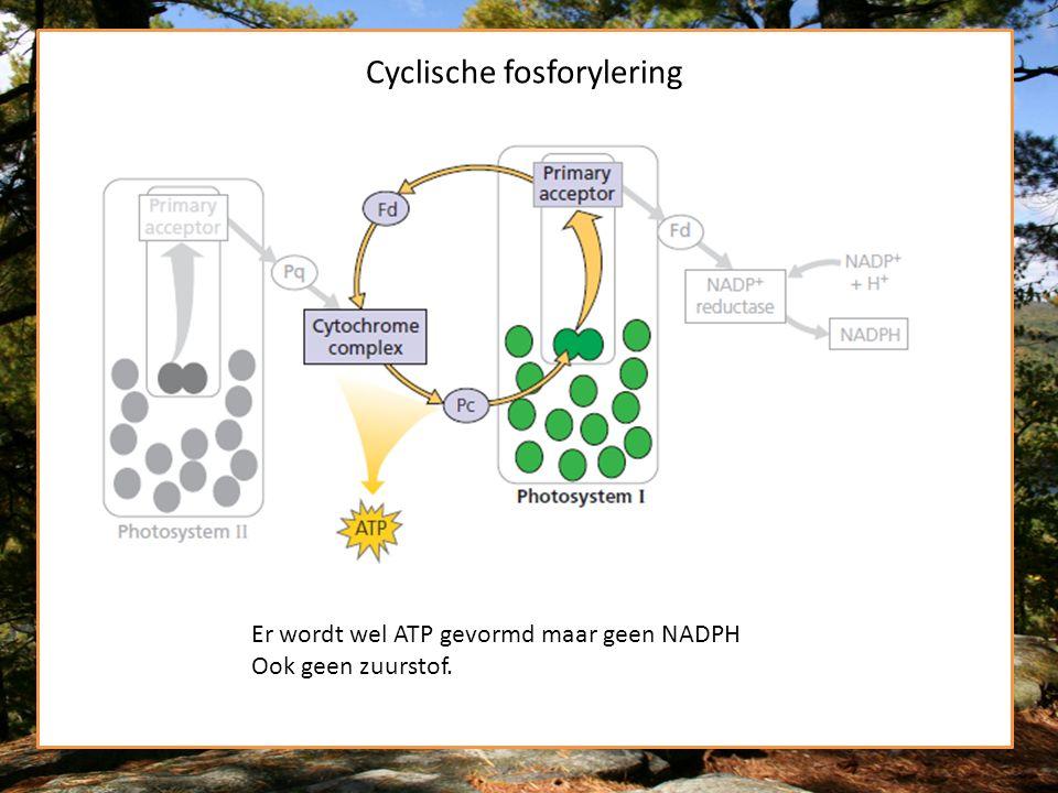 Cyclische fosforylering Er wordt wel ATP gevormd maar geen NADPH Ook geen zuurstof.