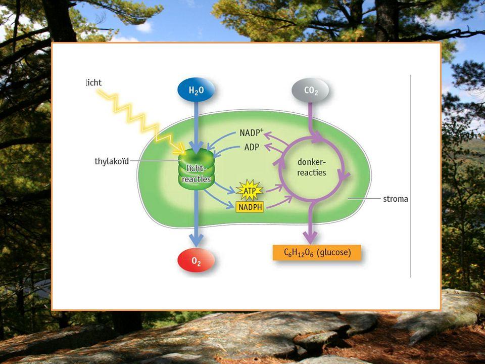 Niet cyclische fosforylering 1.Fotosysteem II: Water splitst in H+ en zuurstof.