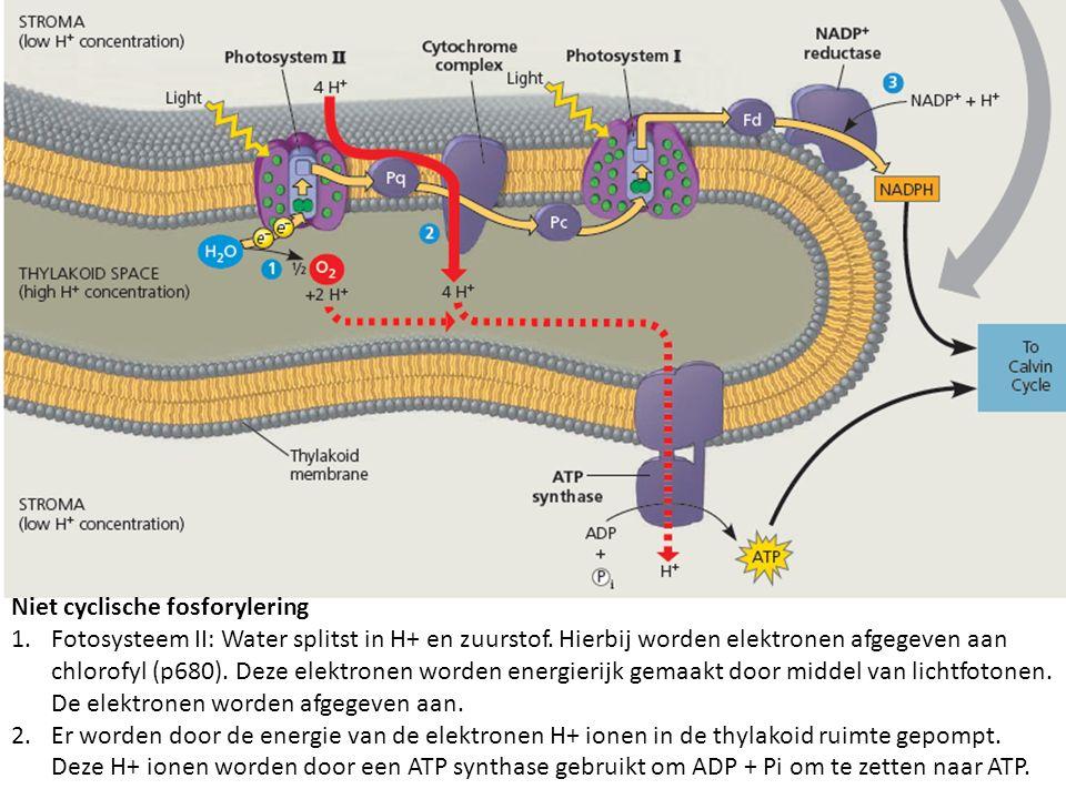 Niet cyclische fosforylering 1.Fotosysteem II: Water splitst in H+ en zuurstof. Hierbij worden elektronen afgegeven aan chlorofyl (p680). Deze elektro