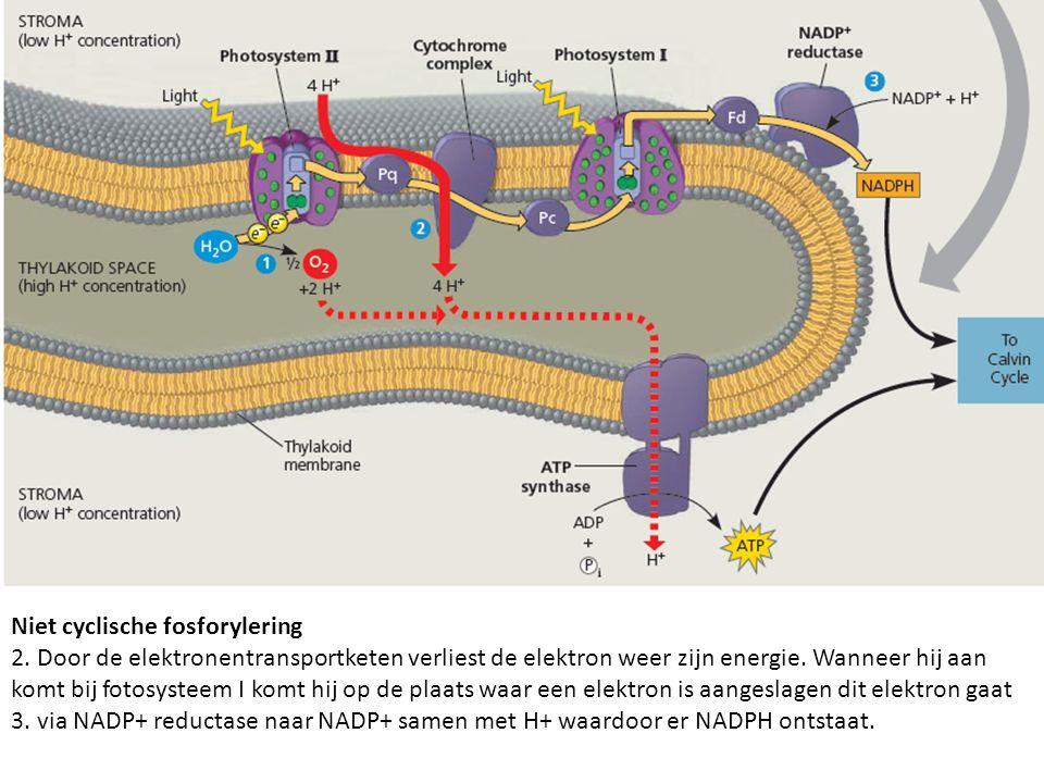 Niet cyclische fosforylering 2. Door de elektronentransportketen verliest de elektron weer zijn energie. Wanneer hij aan komt bij fotosysteem I komt h