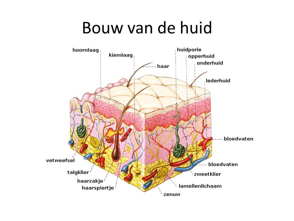  opperhuid = hoornlaag en kiemlaag  lederhuid = bindweefselcellen, met elastische vezels.