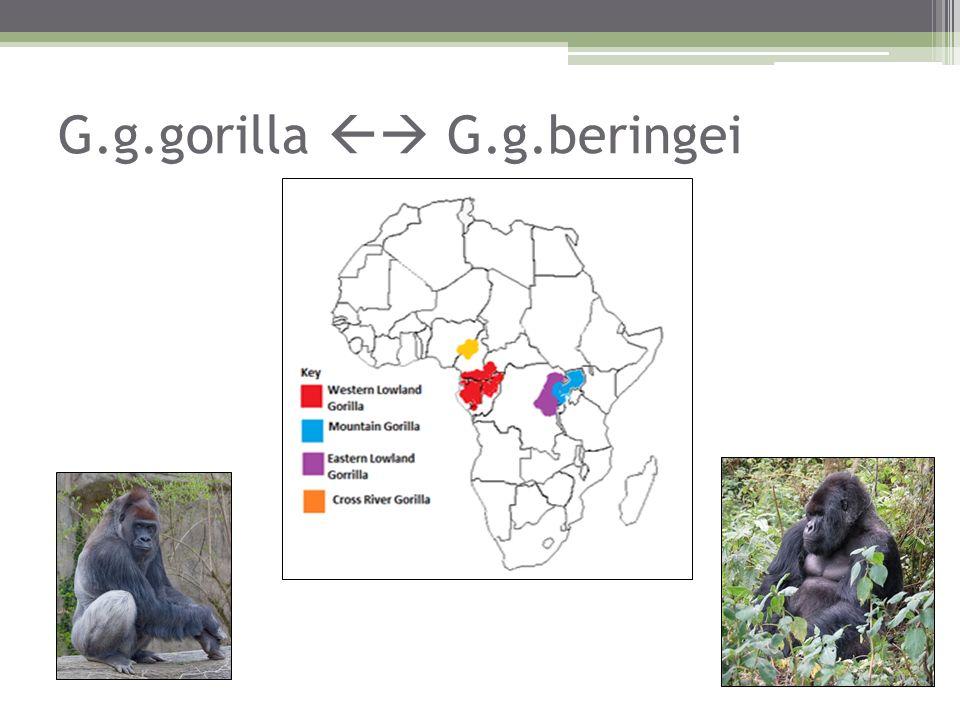 G.g.gorilla  G.g.beringei