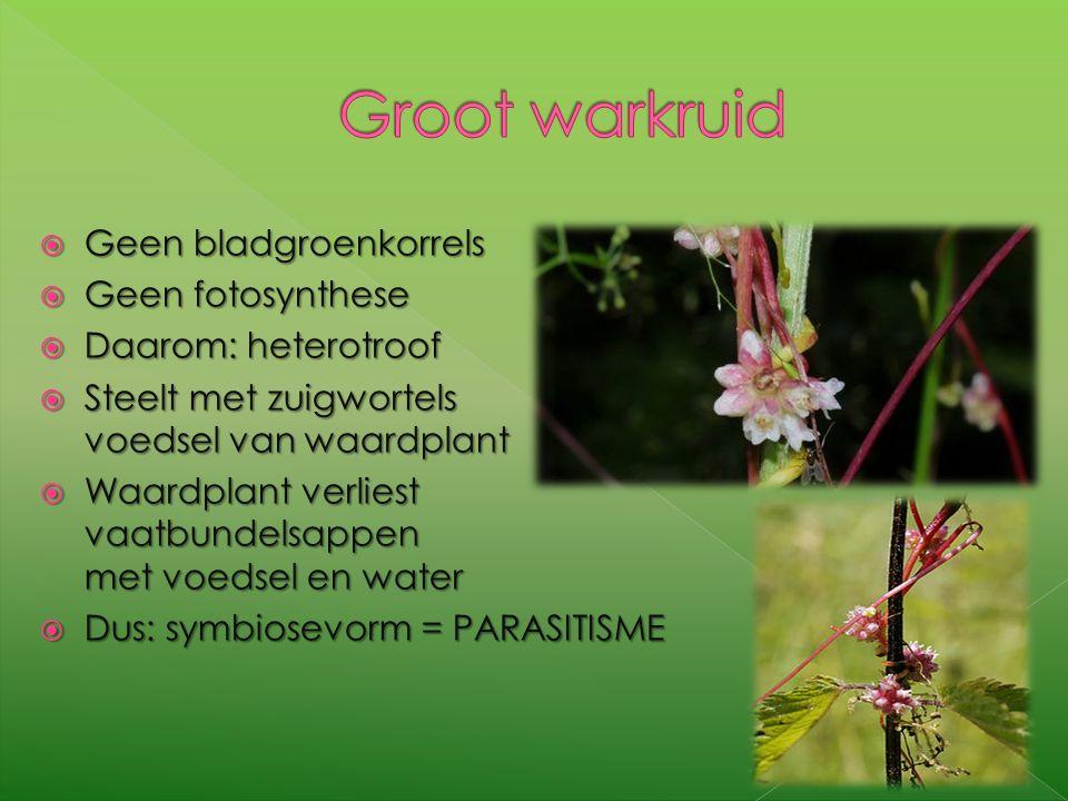 GGGGeen bladgroenkorrels GGGGeen fotosynthese DDDDaarom: heterotroof SSSSteelt met zuigwortels voedsel van waardplant WWWWaardplan