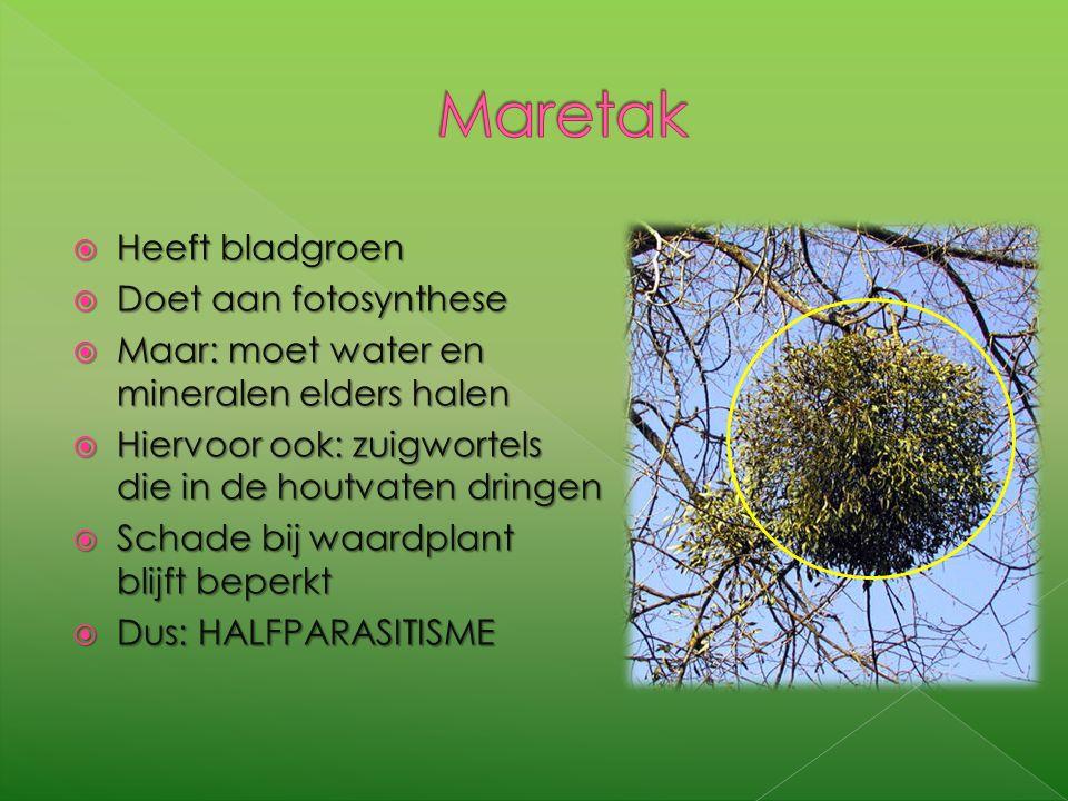 HHHHeeft bladgroen DDDDoet aan fotosynthese MMMMaar: moet water en mineralen elders halen HHHHiervoor ook: zuigwortels die in de houtvaten dringen SSSSchade bij waardplant blijft beperkt DDDDus: HALFPARASITISME