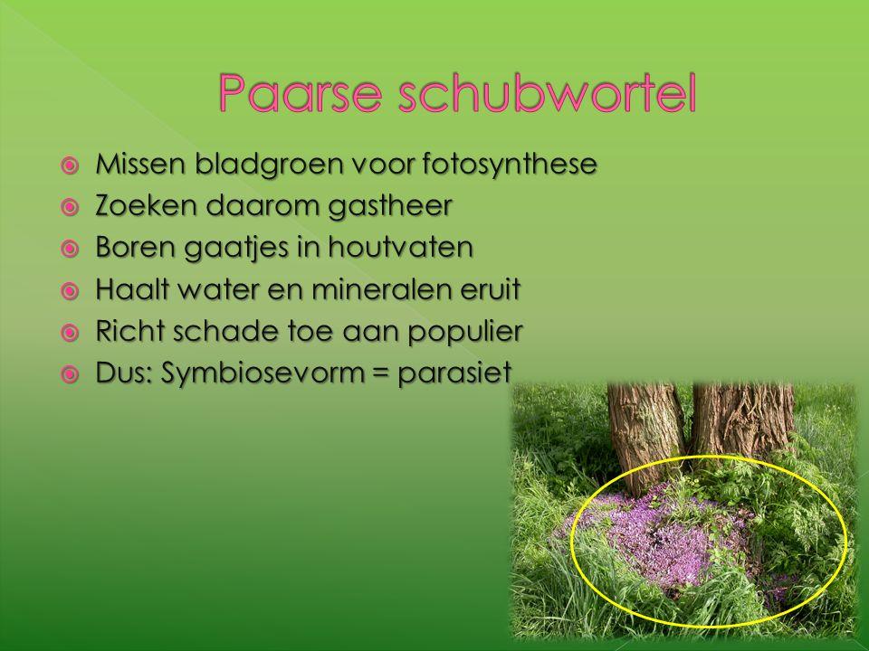  Missen bladgroen voor fotosynthese  Zoeken daarom gastheer  Boren gaatjes in houtvaten  Haalt water en mineralen eruit  Richt schade toe aan populier  Dus: Symbiosevorm = parasiet