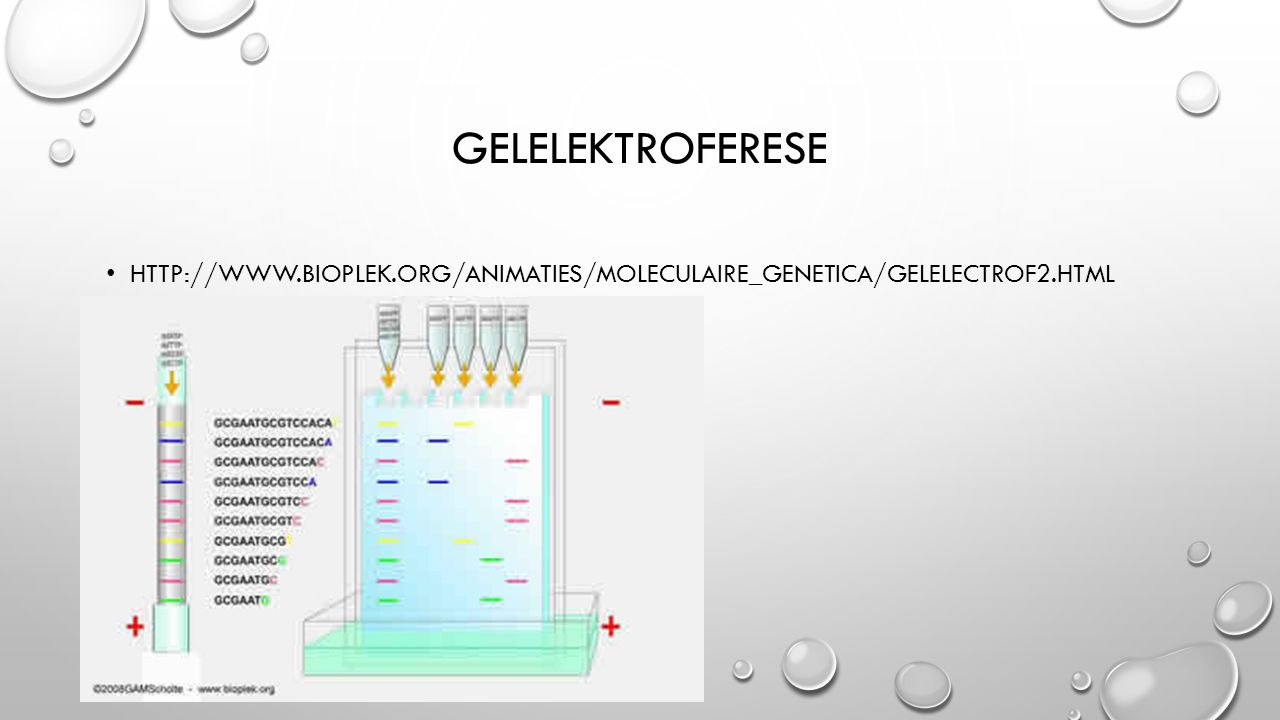 GELELEKTROFERESE HTTP://WWW.BIOPLEK.ORG/ANIMATIES/MOLECULAIRE_GENETICA/GELELECTROF2.HTML