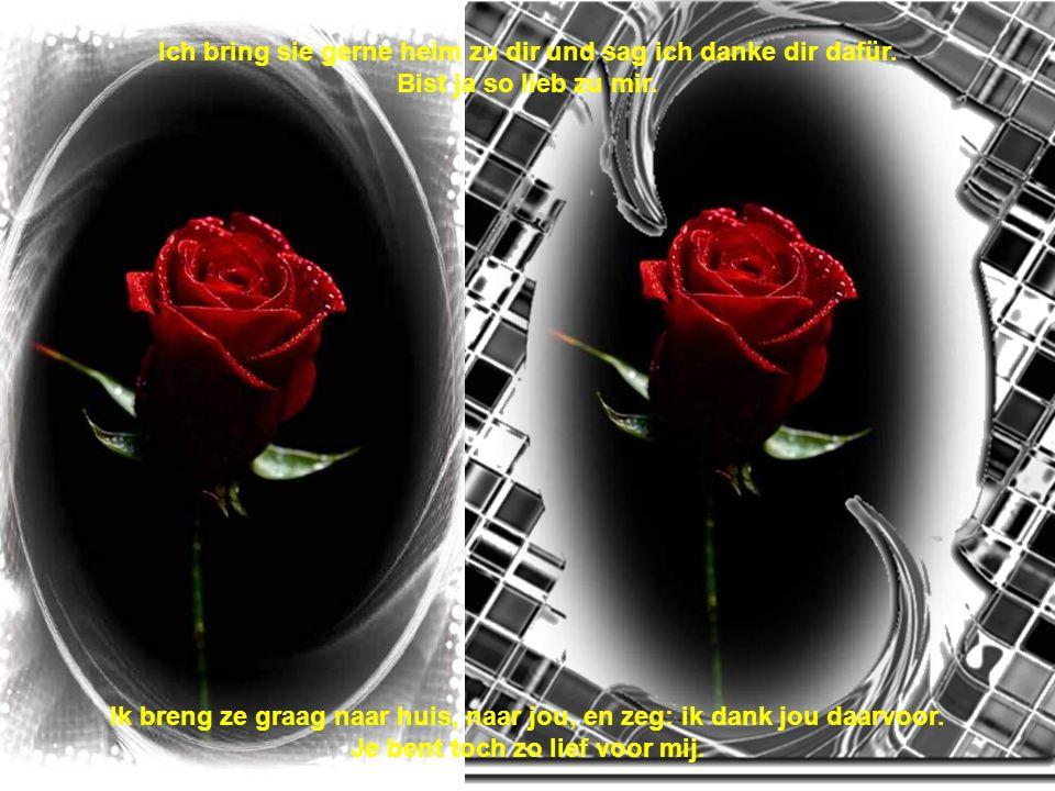 Rot, rot, rot, rot sind die Rosen. Rosen geschenkt aus meinem Herzen. Rood, rood, rood, rood zijn de rozen. Rozen geschonken uit mijn hart.