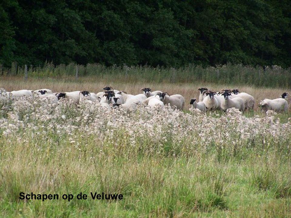 Schapen op de Veluwe