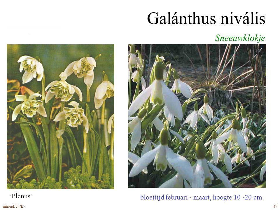 Galánthus nivális bloeitijd februari - maart, hoogte 10 -20 cm Sneeuwklokje bolmaat 5-6 plantdiepte 10 cm 'Plenus' inhoud: 2 47