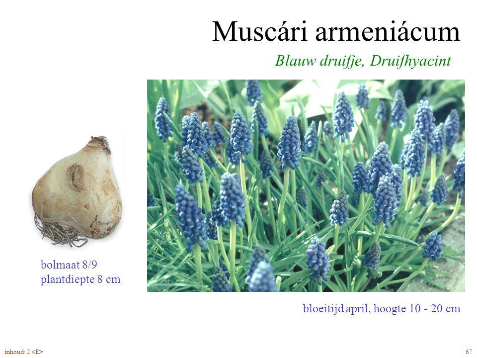 Muscári armeniácum bloeitijd april, hoogte 10 - 20 cm Blauw druifje, Druifhyacint bolmaat 8/9 plantdiepte 8 cm inhoud: 2 67