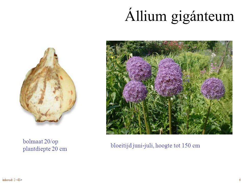 Állium gigánteum bloeitijd juni-juli, hoogte tot 150 cm bolmaat 20/op plantdiepte 20 cm inhoud: 2 6