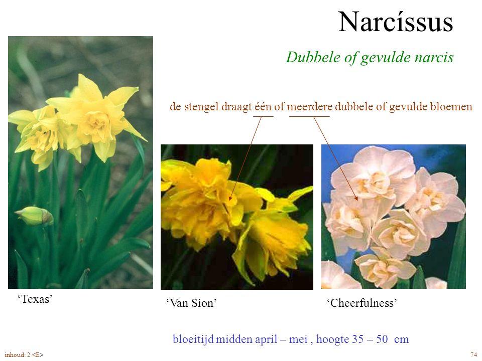 Narcíssus dubbelbloemig bloeitijd midden april – mei, hoogte 35 – 50 cm Dubbele of gevulde narcis Narcíssus 'Van Sion''Cheerfulness' 'Texas' de stengel draagt één of meerdere dubbele of gevulde bloemen inhoud: 2 74
