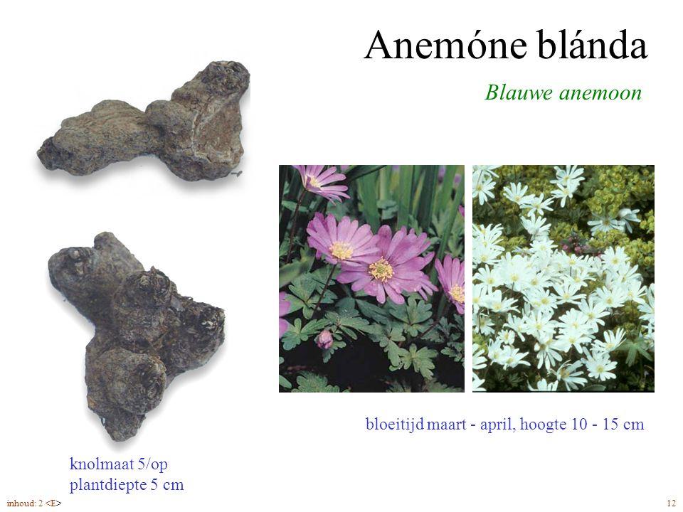 Anemóne blánda Blauwe anemoon bloeitijd maart - april, hoogte 10 - 15 cm knolmaat 5/op plantdiepte 5 cm inhoud: 2 12