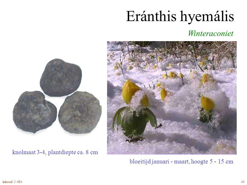 Eránthis hyemális bloeitijd januari - maart, hoogte 5 - 15 cm Winteraconiet knolmaat 3-4, plantdiepte ca.