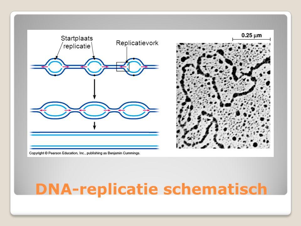 DNA-replicatie schematisch Startplaats replicatie Replicatievork