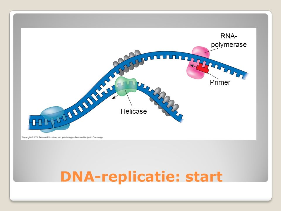 DNA-replicatie: start Helicase RNA- polymerase Primer