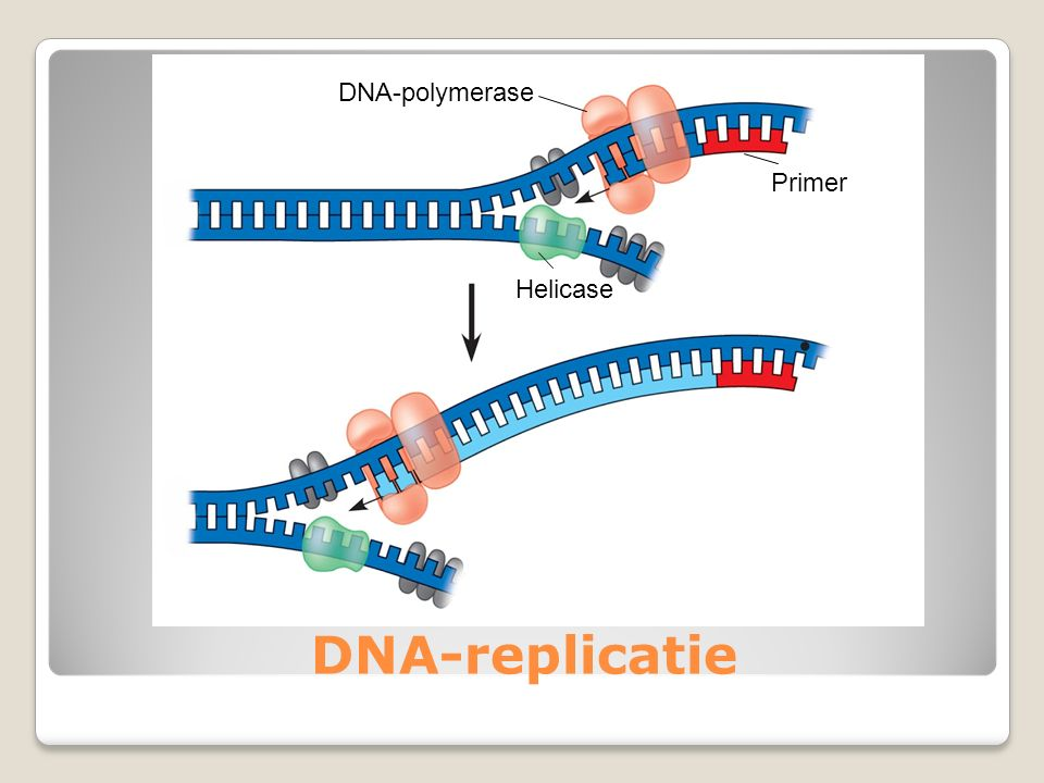 DNA-replicatie Helicase Primer DNA-polymerase