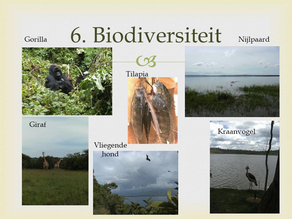  6. Biodiversiteit GorillaNijlpaard Kraanvogel Giraf Vliegende hond Tilapia