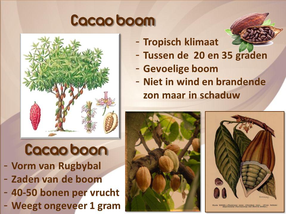 Waar komt chocolade vandaan? De Cacaoboom