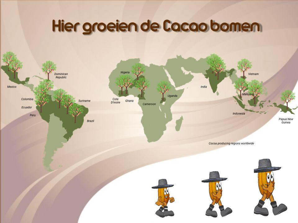 Cacao boom - Tropisch klimaat - Tussen de 20 en 35 graden - Gevoelige boom - Niet in wind en brandende zon maar in schaduw - Vorm van Rugbybal - Zaden