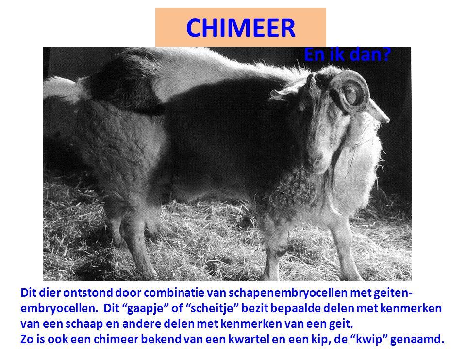 """CHIMEER Dit dier ontstond door combinatie van schapenembryocellen met geiten- embryocellen. Dit """"gaapje"""" of """"scheitje"""" bezit bepaalde delen met kenmer"""