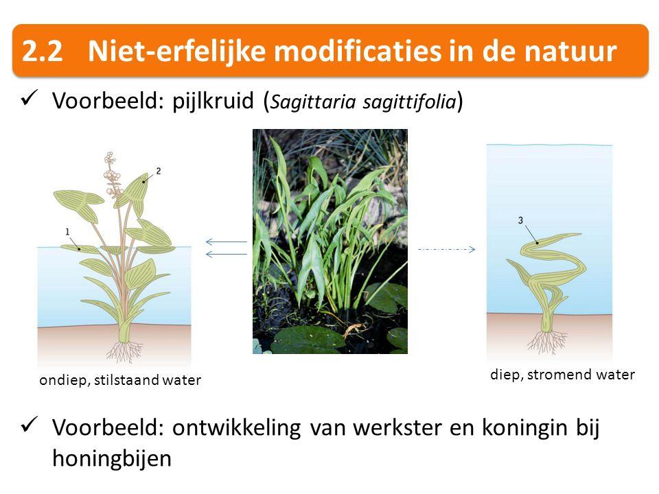 2.2Niet-erfelijke modificaties in de natuur Voorbeeld: pijlkruid ( Sagittaria sagittifolia ) ondiep, stilstaand water diep, stromend water Voorbeeld: