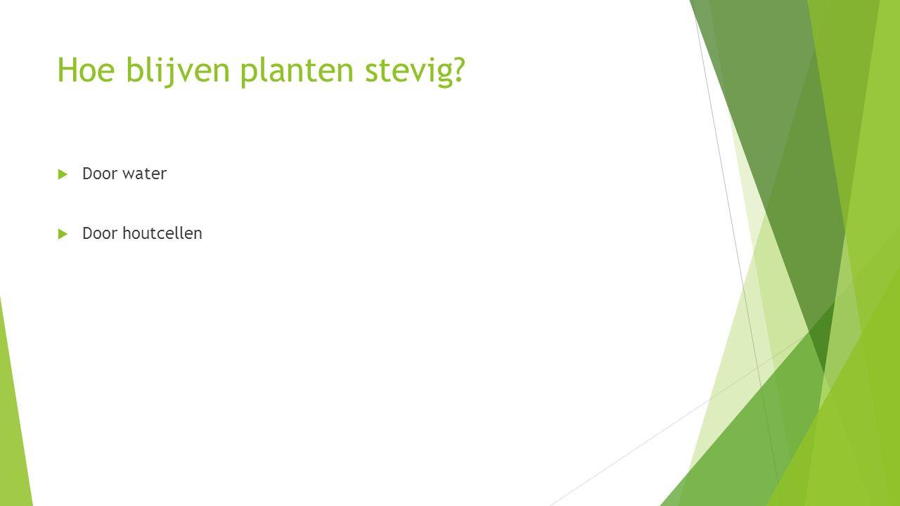 Hoe blijven planten stevig?  Door water  Door houtcellen