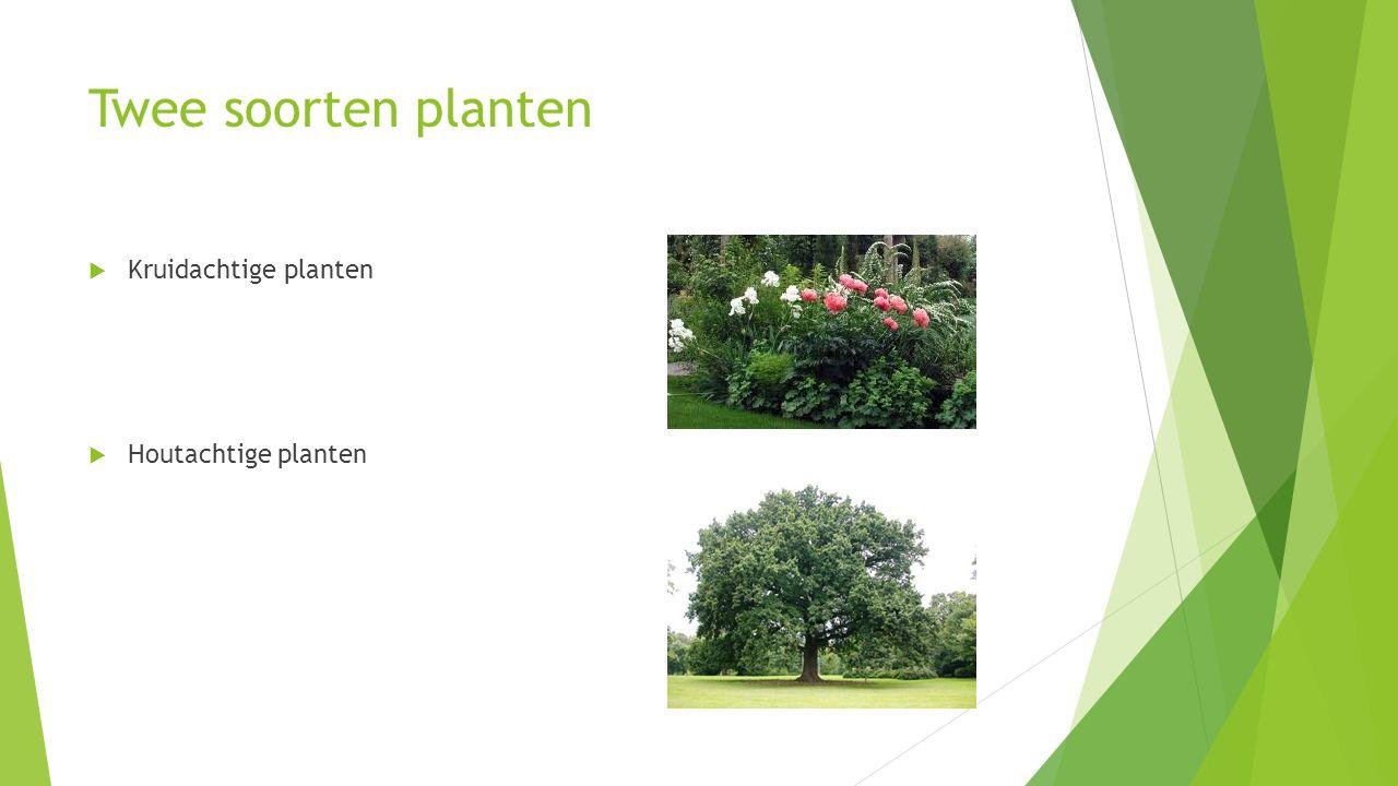 Kruidachtige planten  Hebben water nodig voor stevigheid  Water komt in de vacuole en houdt de cellen stevig