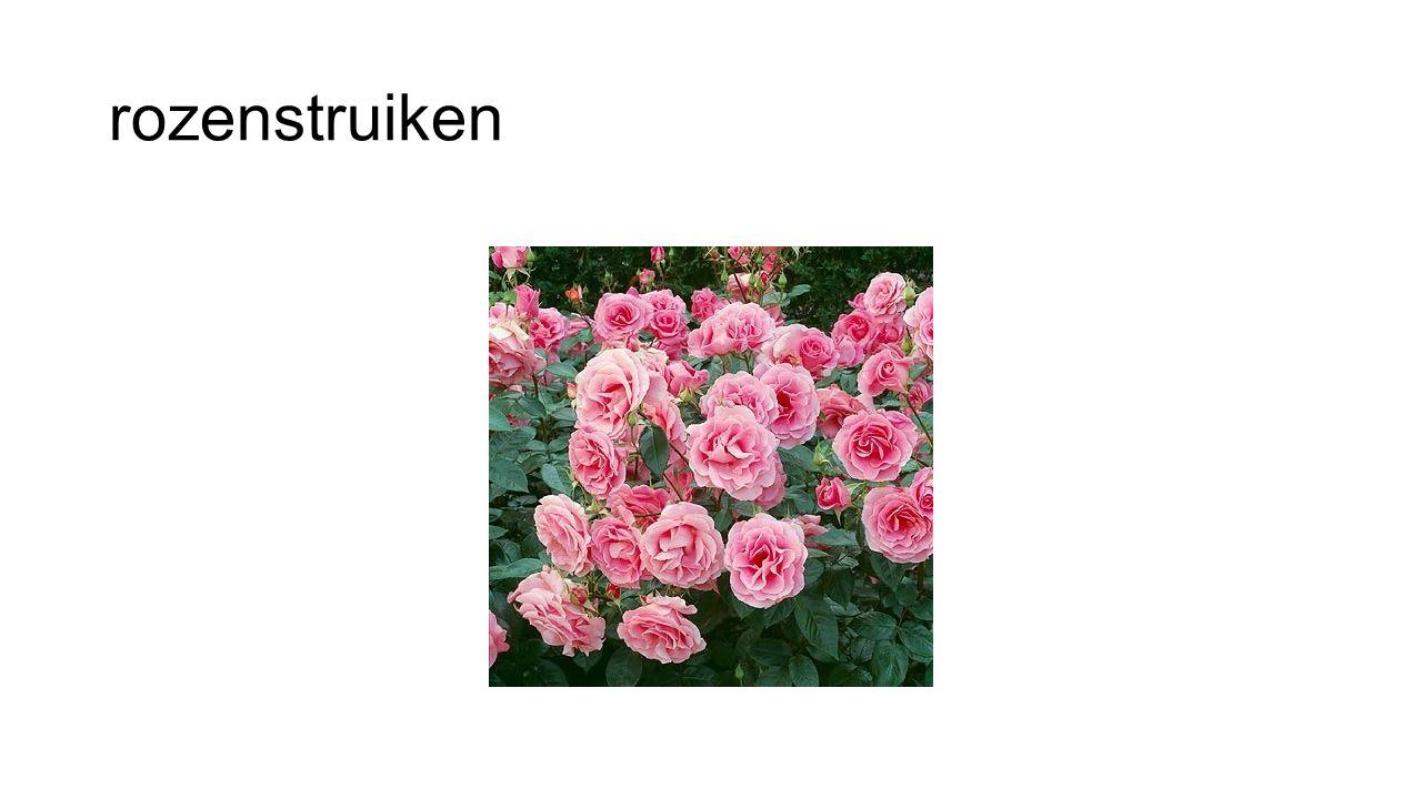 rozenstruiken
