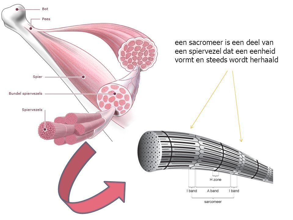 een sacromeer is een deel van een spiervezel dat een eenheid vormt en steeds wordt herhaald