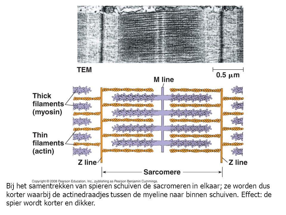 Bij het samentrekken van spieren schuiven de sacromeren in elkaar; ze worden dus korter waarbij de actinedraadjes tussen de myeline naar binnen schuiv