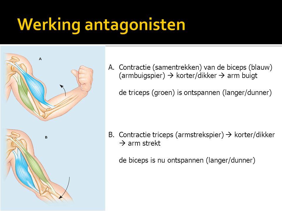 A.Contractie (samentrekken) van de biceps (blauw) (armbuigspier)  korter/dikker  arm buigt de triceps (groen) is ontspannen (langer/dunner) B.Contra