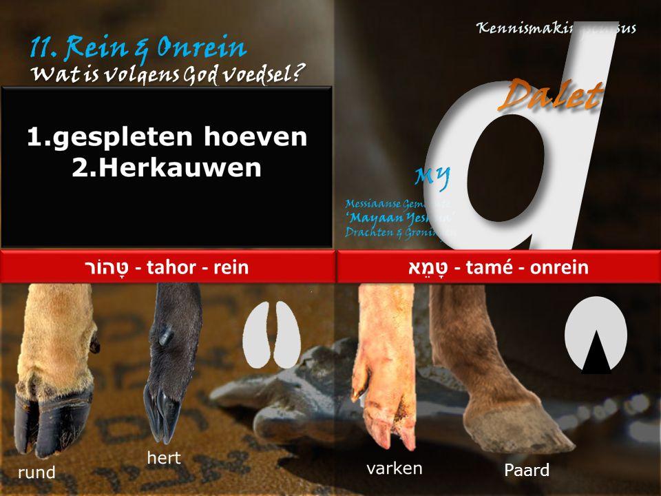 11. Rein & Onrein Wat is volgens God voedsel טָּהוֹר - tahor - rein טָּמֵא - tamé - onrein Paard