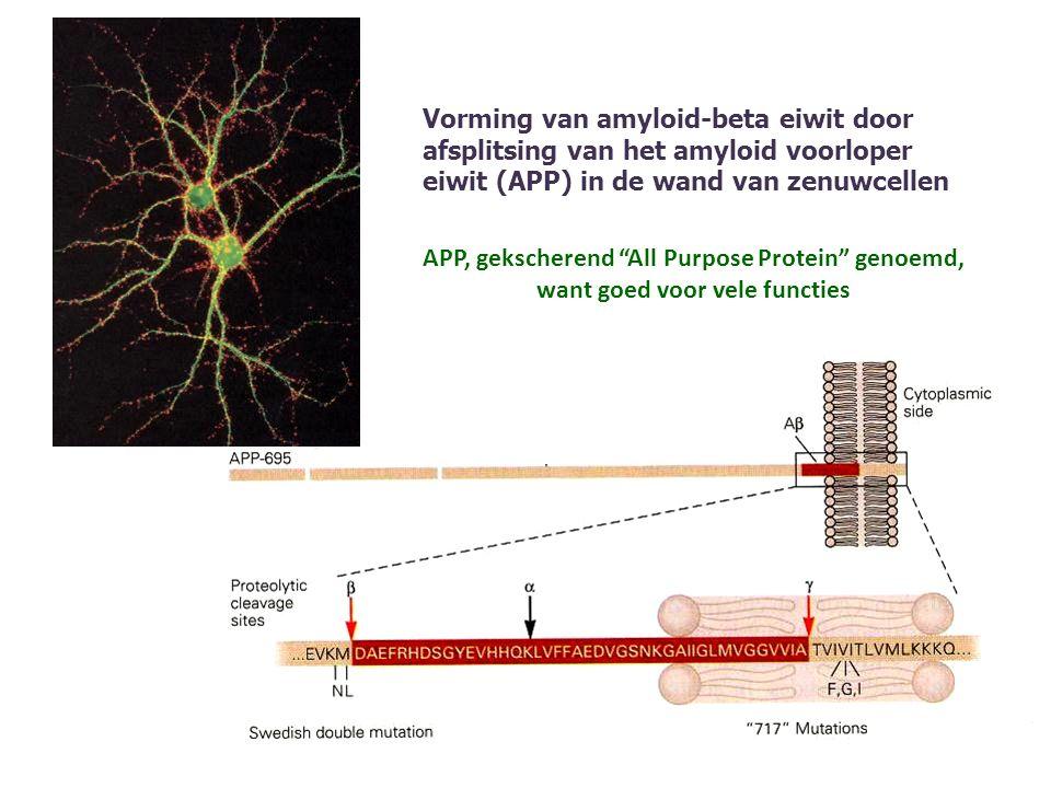 Vorming van amyloid-beta eiwit door afsplitsing van het amyloid voorloper eiwit (APP) in de wand van zenuwcellen APP, gekscherend All Purpose Protein genoemd, want goed voor vele functies