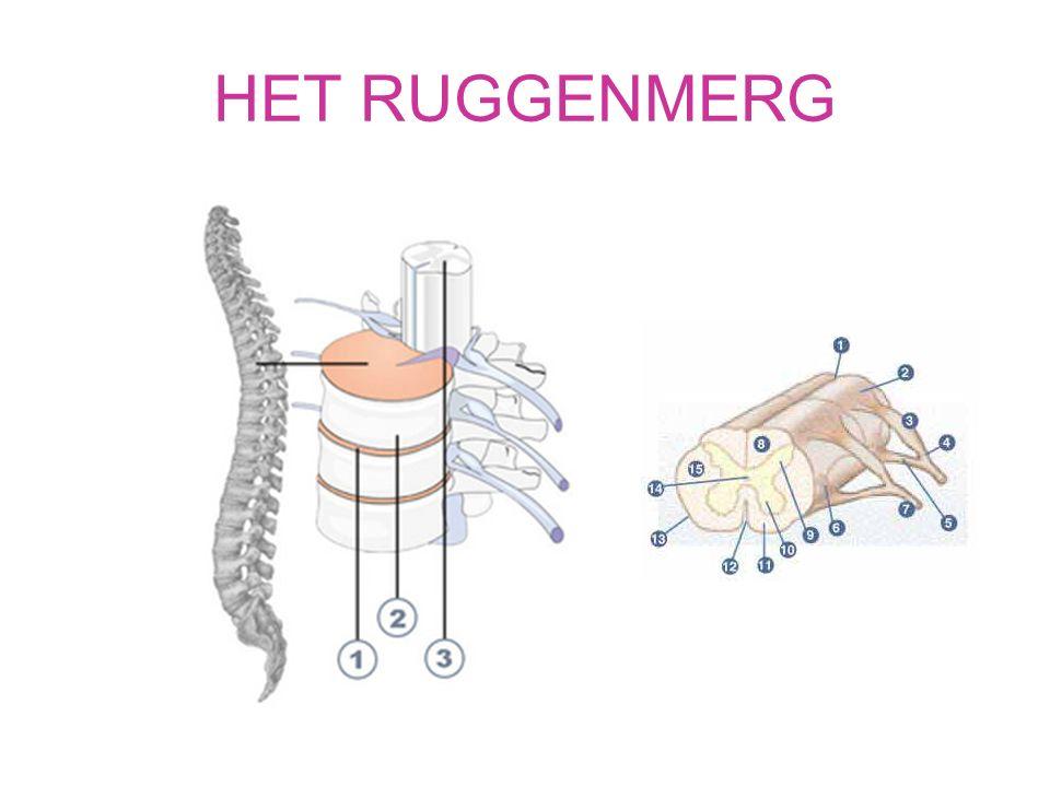 WERVELKANAAL Beschermt het ruggenmerg Tussen 2 wervels komt steeds aan iedere kant een ruggenmergzenuw uit het ruggenmerg Begint bij de hersenstam en eindigt bij lendenwervels