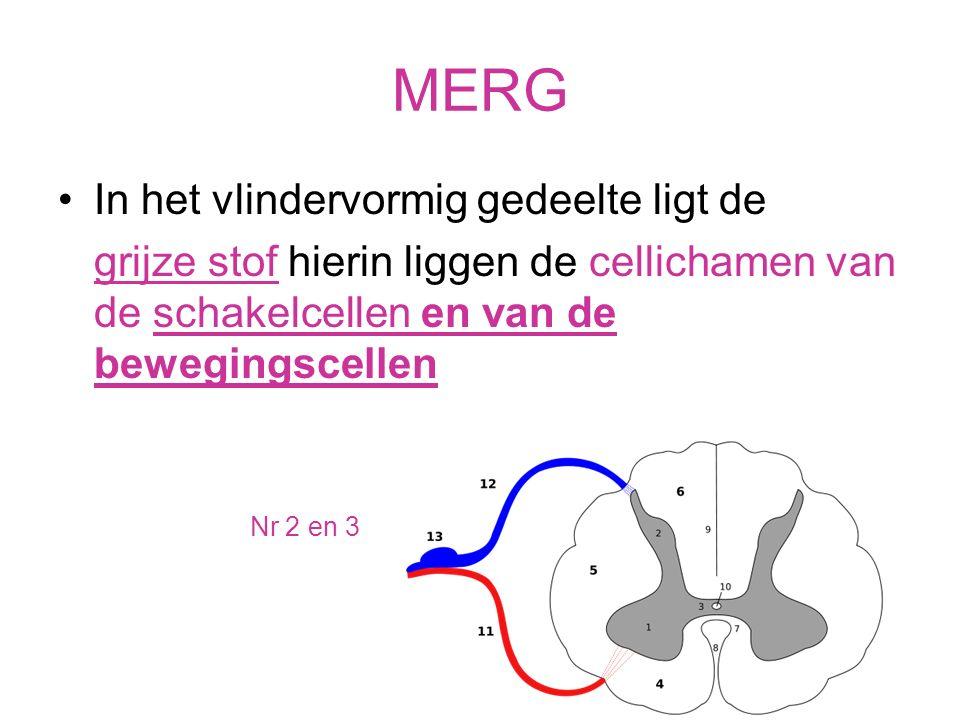 MERG In de schors (het buitenste gedeelte) ligt de witte stof Hierin liggen veel uitlopers van schakelcellen.