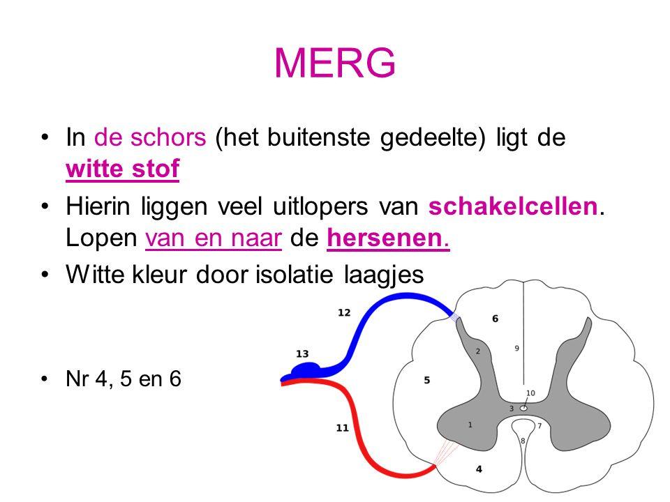 Ligging van de zenuwen Gevoelszenuw rugzijde Bewegingszenuw buikzijde Beide zenuwen staan met elkaar in contact