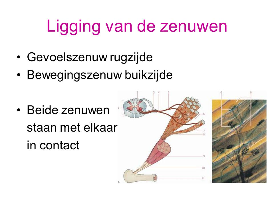 ZENUWKNOOP Verdikking waar gevoelszenuw- cellichamen liggen (ZK of ganglion)