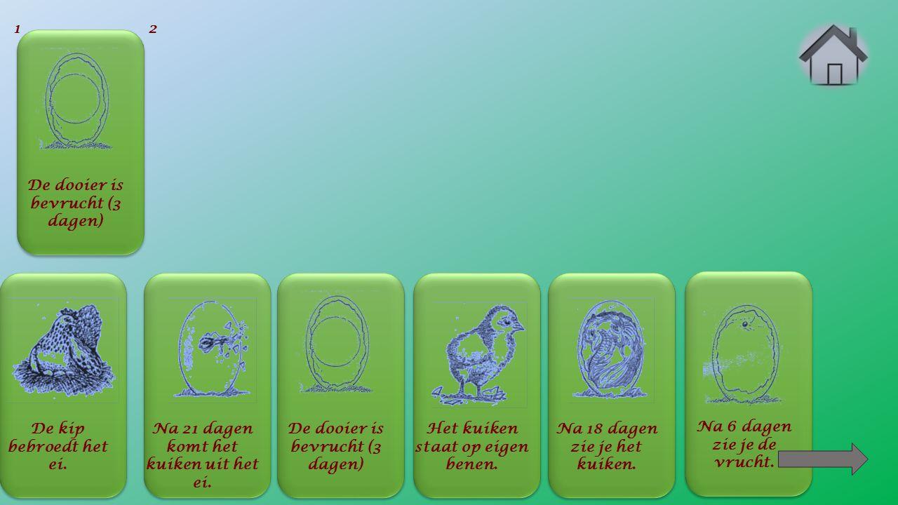 Na 6 dagen zie je de vrucht. De dooier is bevrucht (3 dagen) 1 De kip bebroedt het ei.